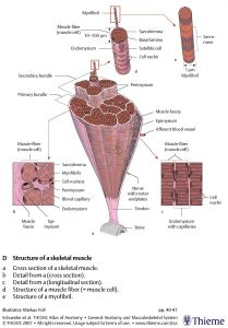 Components of a muscle